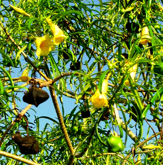 Yellow oleander thevetia peruviana mightylinksfo