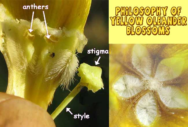 Pollination features of YELLOW OLEANDER (Thevetia peruviana) flowers