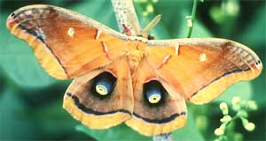 Polyphemus Moth, Antheraea polyphemus, image courtesy of U.S. Fish and Wildlife Service, photo by James Leupold