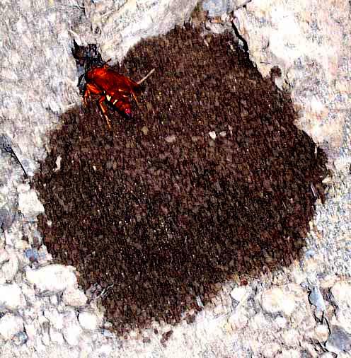 Cicada Killer Wasp Nest The wasps were spheciusWasp Stinger Removal