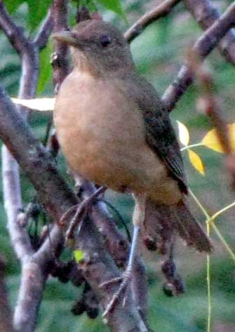 Clay-colored Robin, TURDUS GRAYI