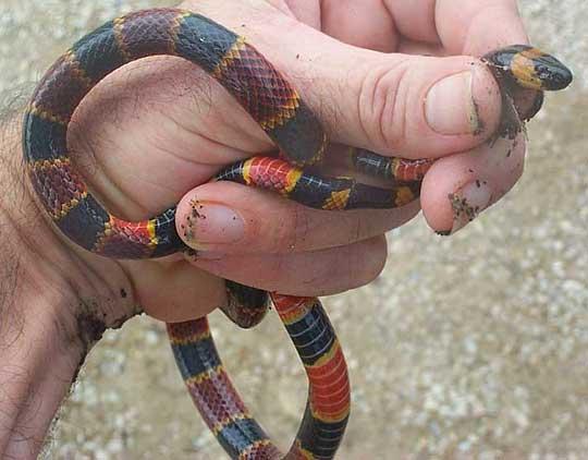 Micrurus fulvius (Eastern coral snake) (Coluber fulvius)