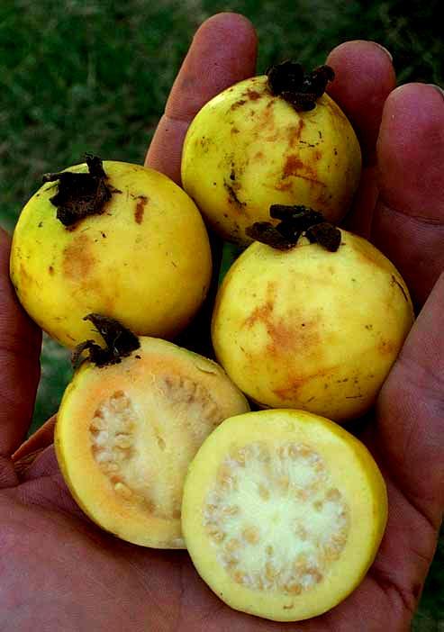 Guava trees psidium guajava