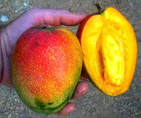 type of placentation in mango