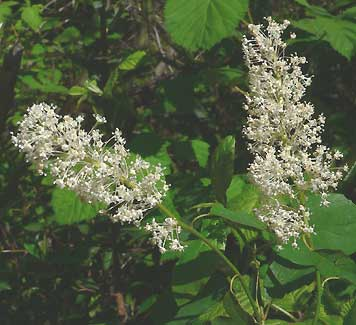 Tree with small white flowers that smell good flowers healthy bush with white fragrant flowers choice image flower decoration ideas fragrant shrub with white flowers choice shrub with small white fragrant flowers mightylinksfo