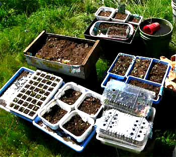 Trays Pots Of Germinating Seedlings