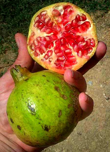 pomegranate granada