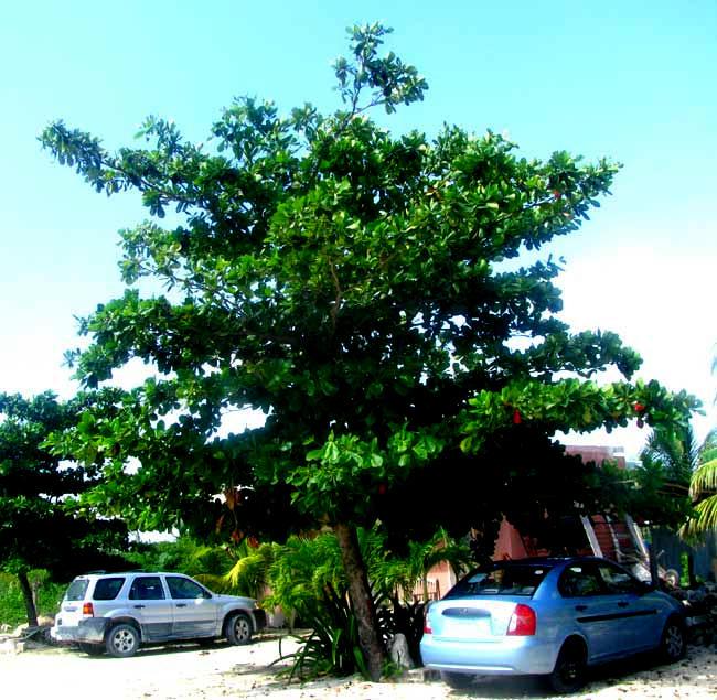 Almond tree florida