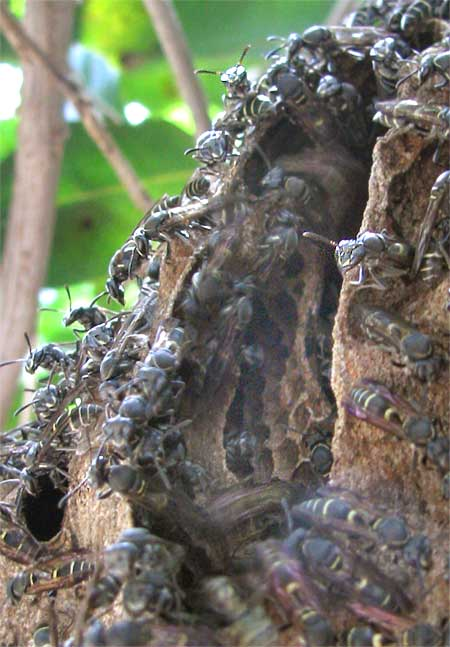 PAPER-WASP NEST entrance, Yucatan, Mexico