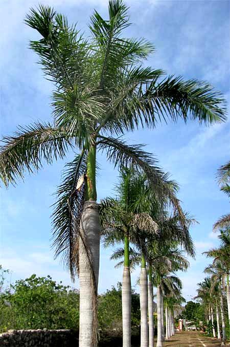 Royal Palm, ROYSTONEA REGIA