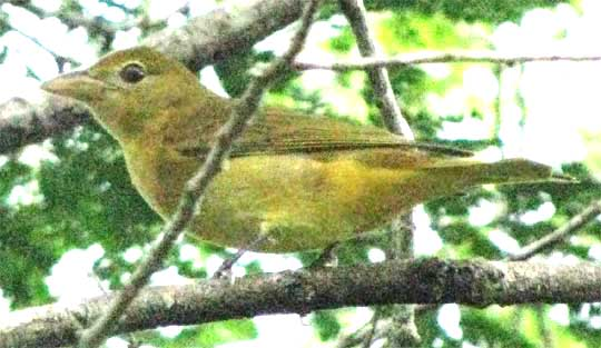 female or immature Summer Tanager in the Yucatan, Mexico