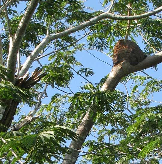 Arboreal Termite Nests Genus Nasutitermes