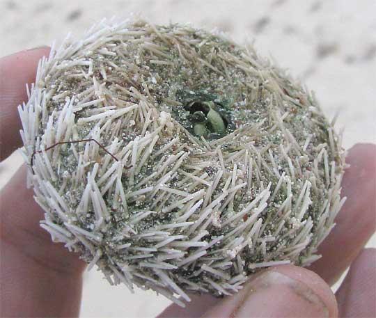 sea urchin decor.htm variegated sea urchin  lytechinus variegatus  sea urchin  lytechinus variegatus
