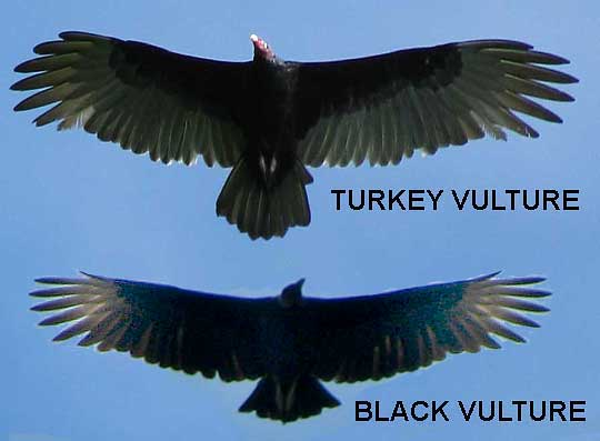 differences between Turkey Vulture and Black Vulture